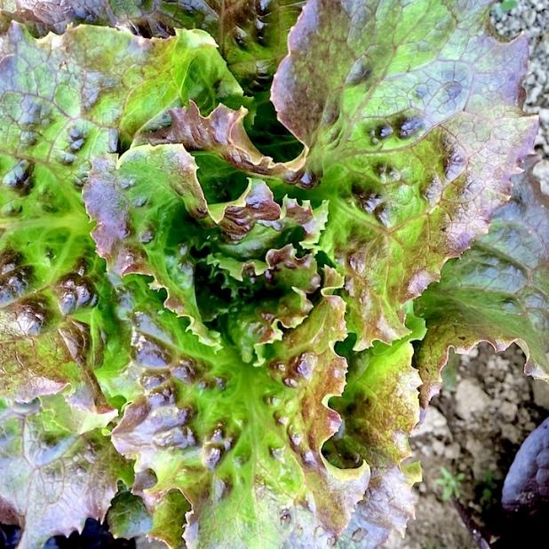 Lettuce Organic Maine